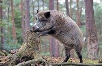 На Хортице ввели карантин из-за вспышки африканской чумы свиней