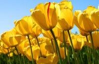 В Кировограде расцвели почти полмиллиона тюльпанов