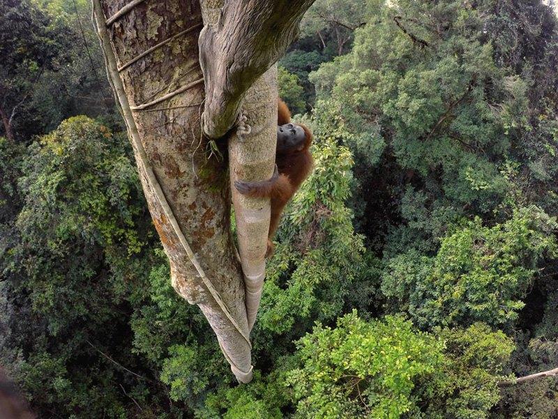 Орангутан поднимается за плодом фиги.
