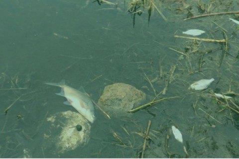 Экоинспекция назвала предварительную причину массовой гибели рыбы в Житомирской области