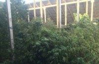 У троих жителей Кировоградской области изъяли 5 тонн марихуаны на 15 млн гривен