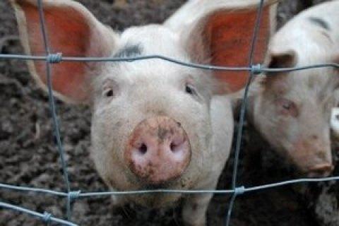 Случаи африканской чумы свиней зафиксированы еще в трех областях Украины