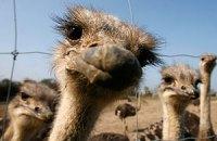 Таджикские аграрии научат украинцев выращивать страусов