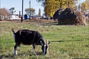 Ввоз в Украину из Болгарии мелкого рогатого скота запрещен из-за оспы