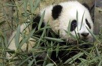 П'ятнична панда #110
