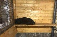 Пантера насмерть загризла чоловіка в приватному звіринці під Москвою