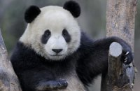 Пятничная панда #79