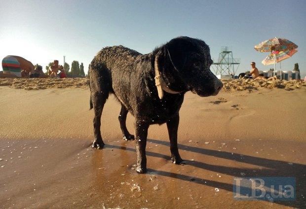 Собаку Вука-фестивальщица