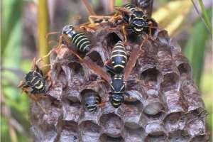 МЧС предупреждает об опасности осиных гнезд