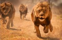Пятерых львов из бердянского зоопарка переправят в африканский спецприют