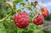 В 2018 году аграрии собрали 132,9 тыс. тонн ягод