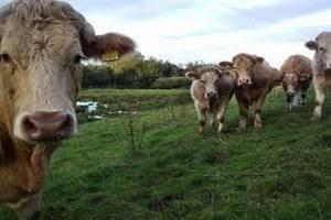 Украина усиливает защиту от загадочной европейской болезни скота