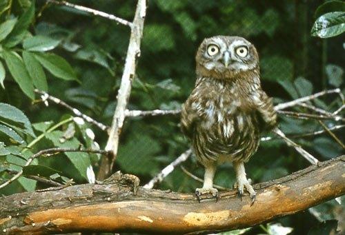 Если женщины с большими глазами - красавицы, то я вообще - неотразим! Воробьиный сычик. Самый мелкий из сов.