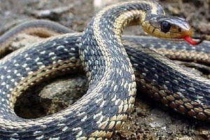 У Непалі селянин закусав змію до смерті