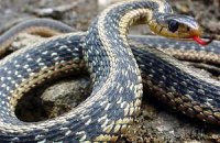 Мешканка Дніпропетровська спіймала змію в пилосос