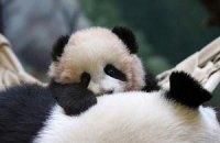 Пятничная панда #37