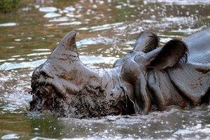 В Индии пересчитали носорогов