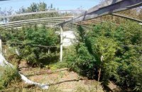 В Херсонской области обнаружили плантацию конопли на 1,5 млн гривен