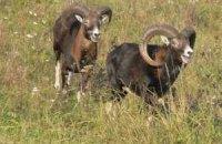 В Крыму открыли питомник для кабанов и муфлонов