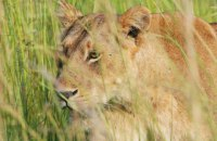 Західноафриканських левів внесено до списку зникаючих видів