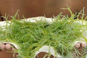 Гранулы из водорослей - здоровая альтернатива соли