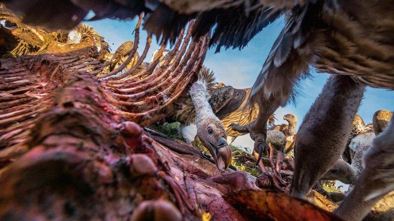 Стервятники пожирают зебру в Серенгети.
