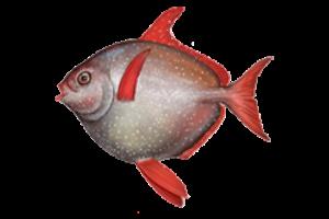 В Калифорнии обнаружили первую в мире теплокровную рыбу