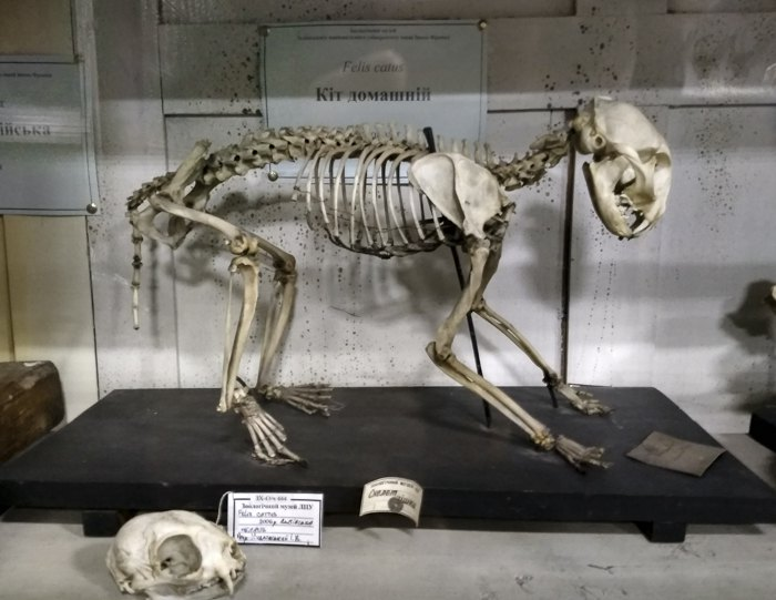 Кіт домашній, Зоологічний музей ЛНУ ім. І. Франка-