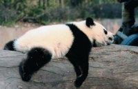 Пятничная панда #165