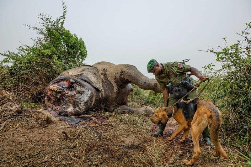 Рейнджер с помощью собаки-ищейки пытается найти браконьеров, которые убили слона в Национальном парке Вирунга, Республика Конго.