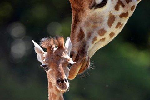 Жирафів занесли до списоку видів, яким загрожує вимирання
