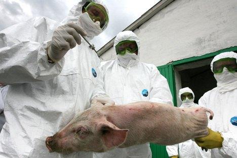 У Броварському районі знищили 61,7 тис. голів свиней через АЧС