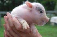 Импорт свинины в Днепропетровскую область в 2010 году сократился на 55%