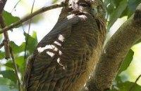 Ученые обнаружили на Филиппинах голубоглазых сов