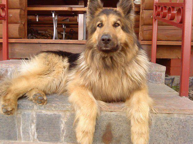 Аня из Киева прислала нам фотографию одного из своих любимцев, овчарку по кличке Ким