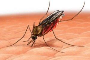 С малярией будут бороться с помощью грязных носков