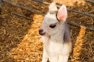 В Киевском зоопарке родился маленький лама