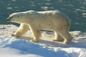 Белый медведь прогнал экологов с месторождения нефти