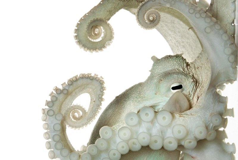 """""""Задумчивый"""" осьминог. Из-за того, что нервная система обыкновенного осьминога более сложна, чем у большинства беспозвоночных, ученые до сих пор задаются вопросом, наделено ли это существо сознанием."""