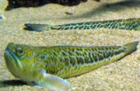 Відпочивальників в Одесі попередили про отруйних рибок-драконів