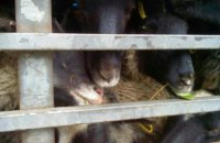 Из-за гибели овец в порту Черноморска в Украине ввели новые правила транспортировки животных