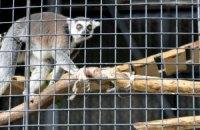 У Київському зоопарку показали котячих лемурів