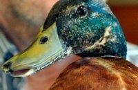 В Новой Зеландии утке сделали металлический клюв