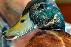 У Новій Зеландії качці зробили металевий дзьоб