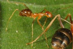 Киев атакуют полчище рыжих муравьев