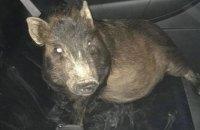 В США полиция спасла мужчину от преследования убежавшей от хозяина свиньи