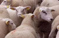Из-за гибели овец в морском порту Черноморска открыли два уголовных дела