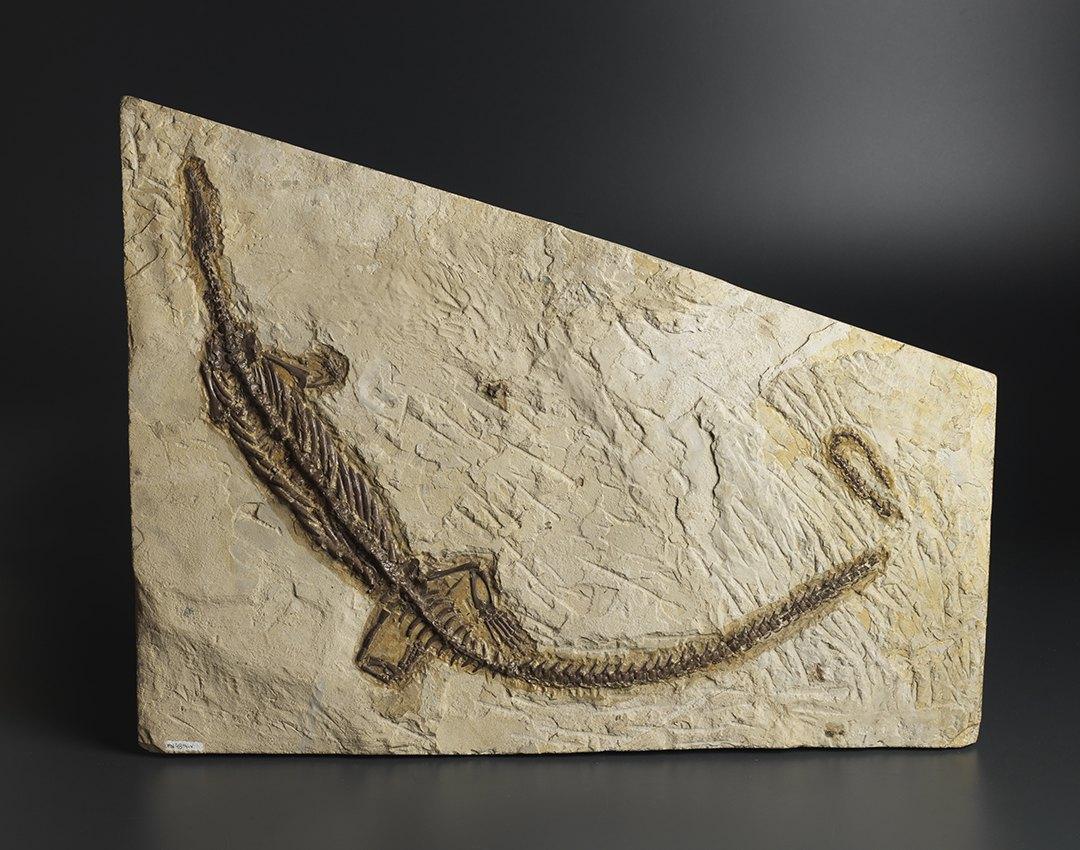 Скелет динозавра (Mesosauridae), ок. 299-251 млн. лет