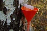 На Буковине состоится Фестиваль березового сока