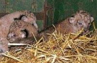 В Одесском зоопарке родились три львенка